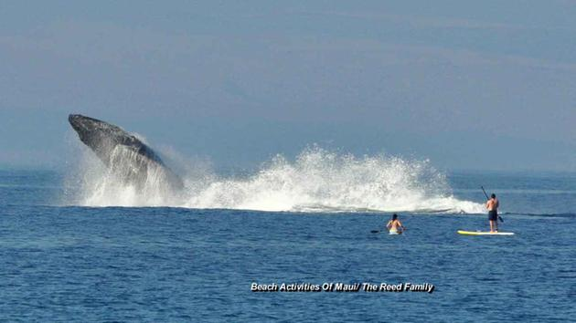 Whales jumping out of water next to surfer - photo#3