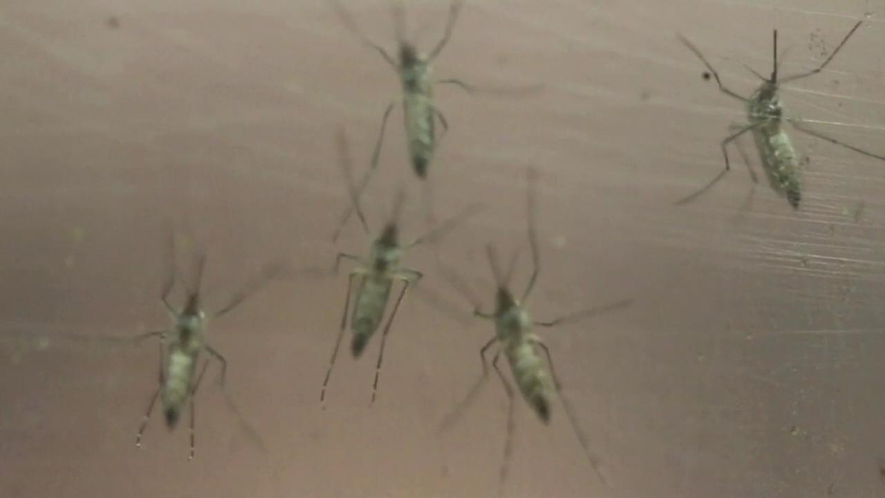 Female Aedes aegypti mosquitoes, which are a vector for transmitting the Zika virus, are seen in a container in this undated file photo.