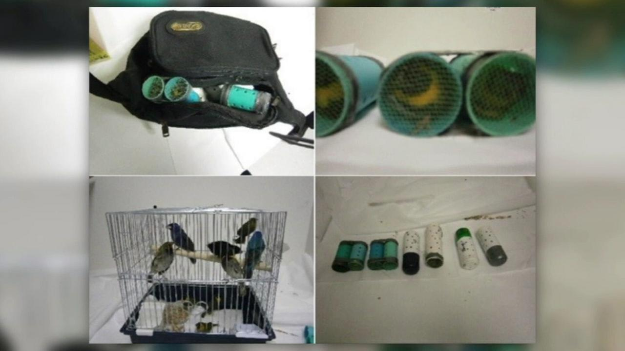 A man attempted to smuggle in several exotic birds from Cuba into the U.S. by stuffing them in a fanny pack and in his pants as shown in the photos above.