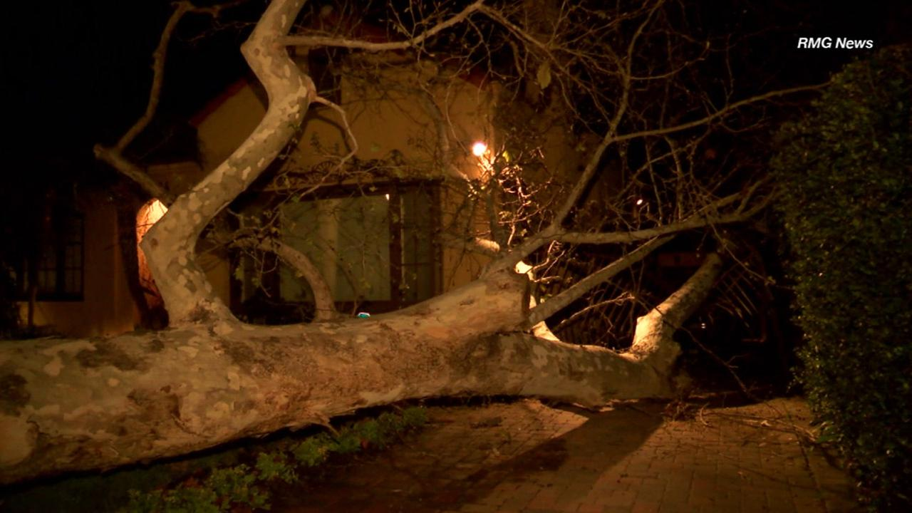 A massive tree sits in the driveway of a Hancock Park home, crushing a gate and cracking a wall of the residence on Tuesday, Feb. 2, 2016.