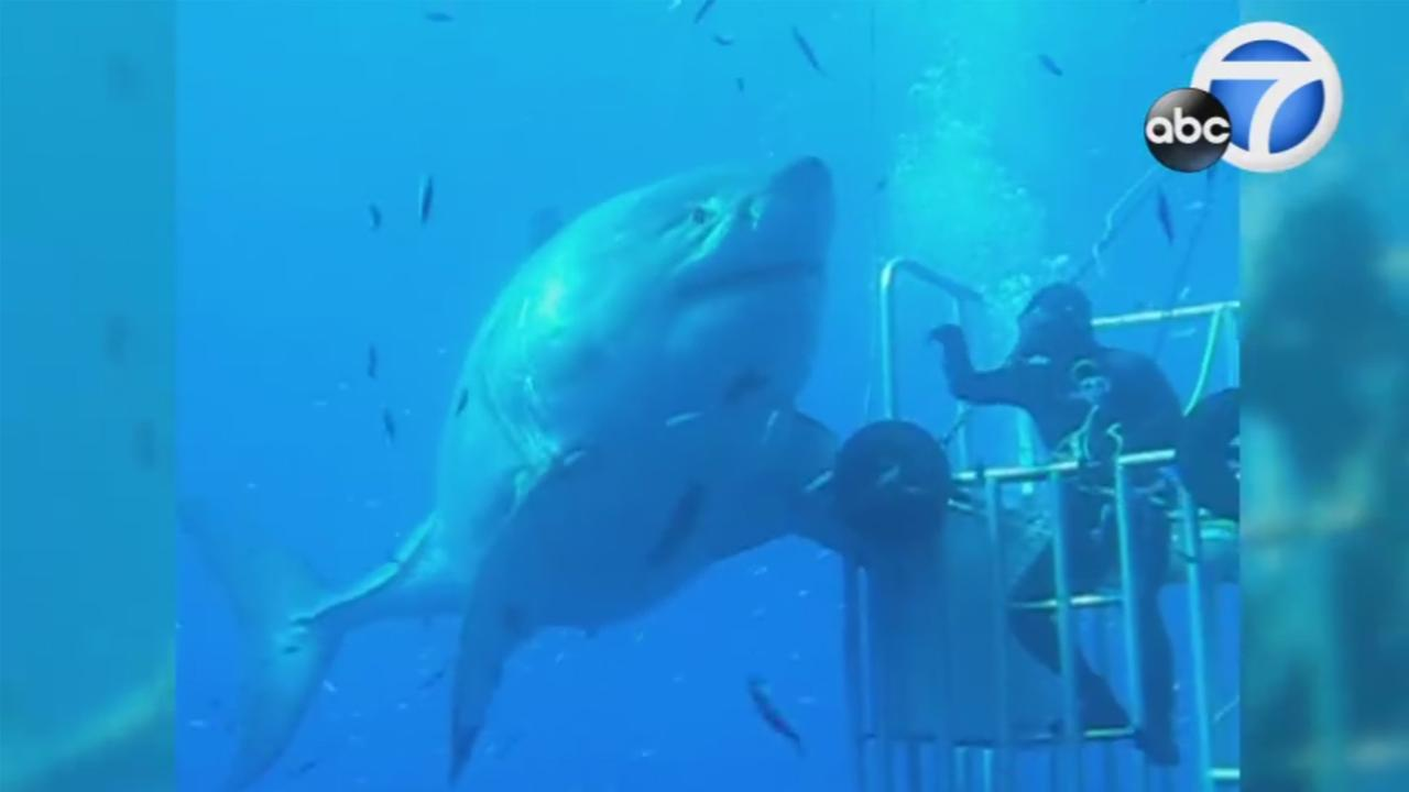The worlds largest great white shark, named Deep Blue, is recorded on video off Guadalupe Island.