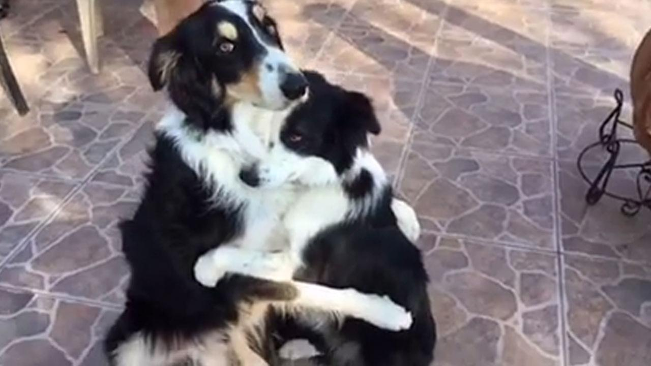 Border collies Dewey and Blaze hug each other in a video posted on their Facebook page.