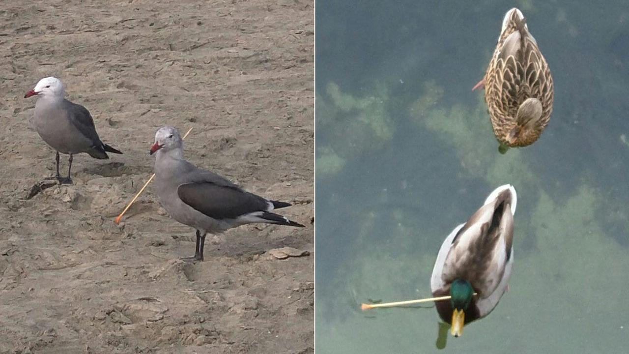 A gull and duck are seen shot through the neck with a blow dart in photos provided by the Newport Beach Police Department.