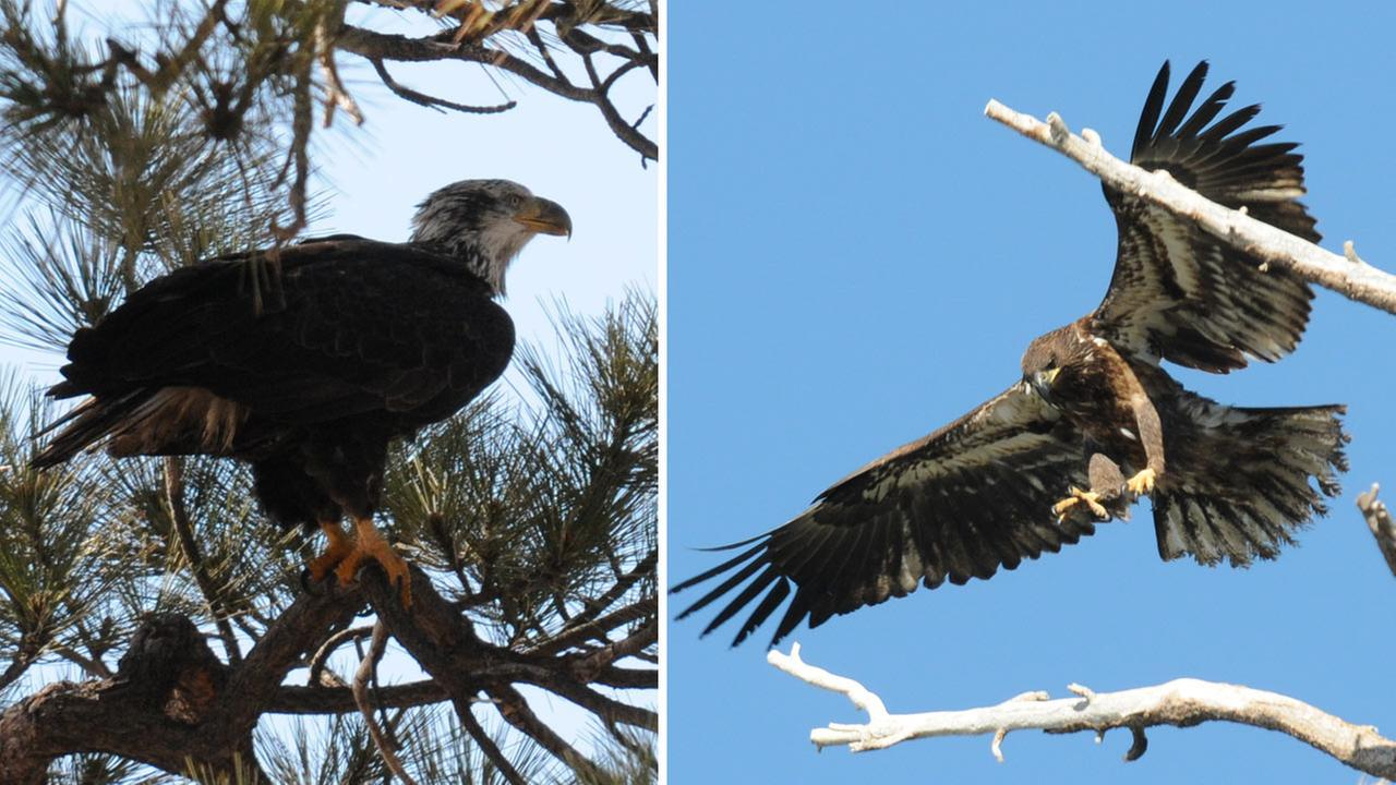 During a recent observation in Southern Californian mountains, a 4-year-old bald eagle (left) and a juvenile bald eagle (right) were spotted.