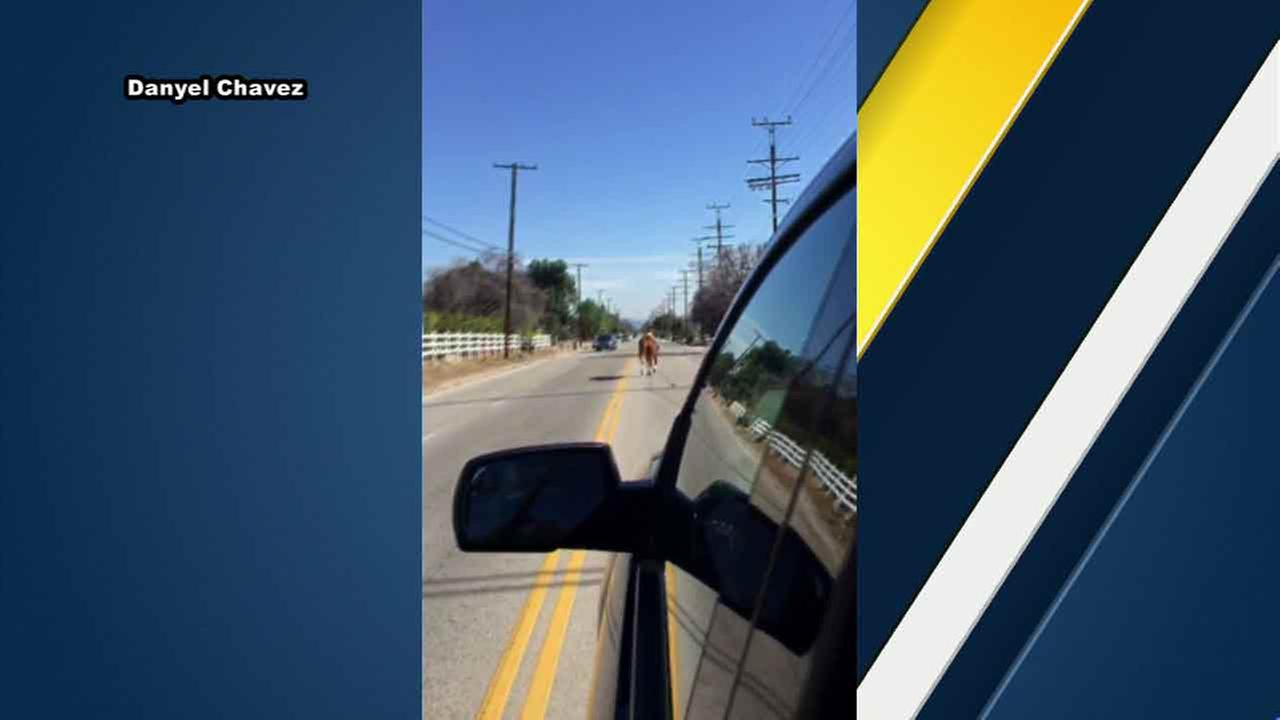 A runaway horse is captured on video by one couple in Sylmar, Calif. on Saturday, Feb. 21, 2016.