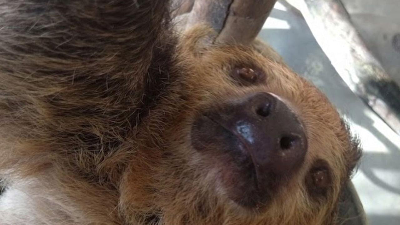 A sloth at the Los Angeles Zoo posed for a selfie thanks to the help of a camera installed by Google.