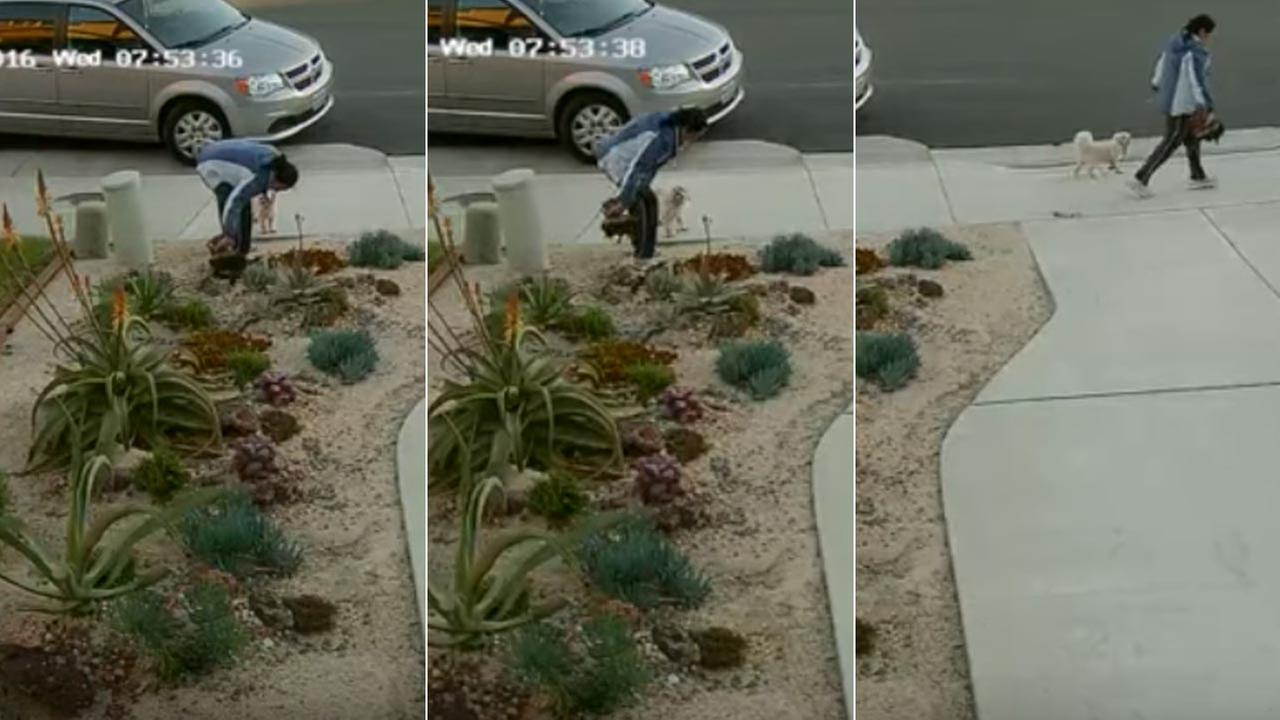 These surveillance still images show a thief stealing a plant from the front yard of an Eastvale home.