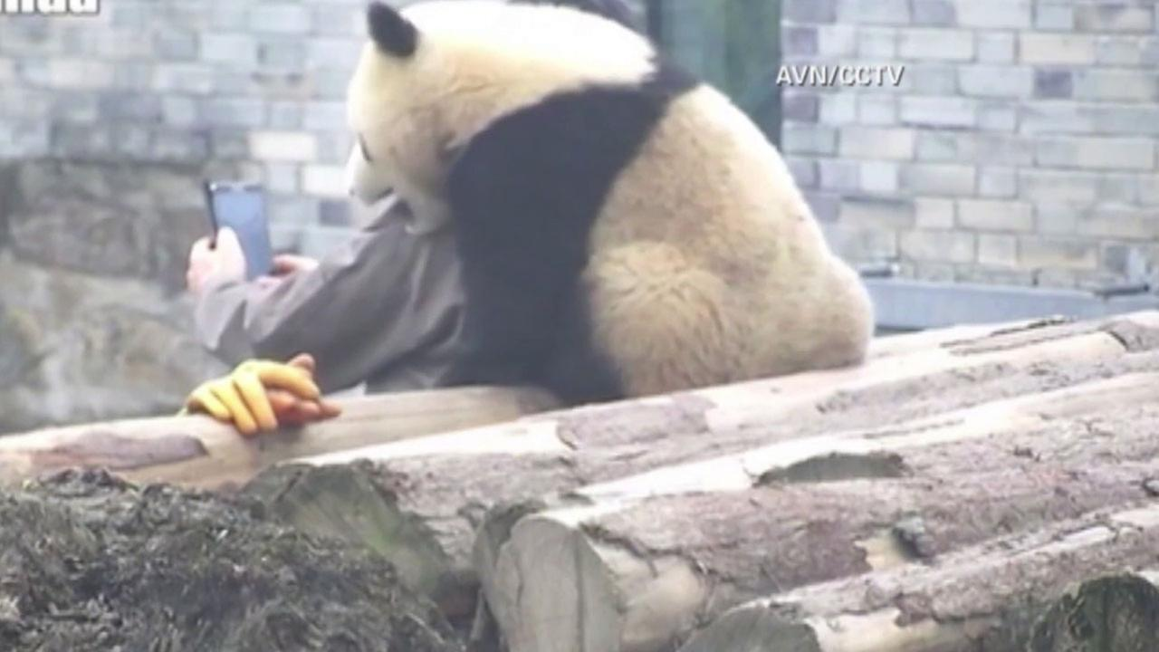 A giant panda cub took a selfie with its human foster dad at a China zoo.
