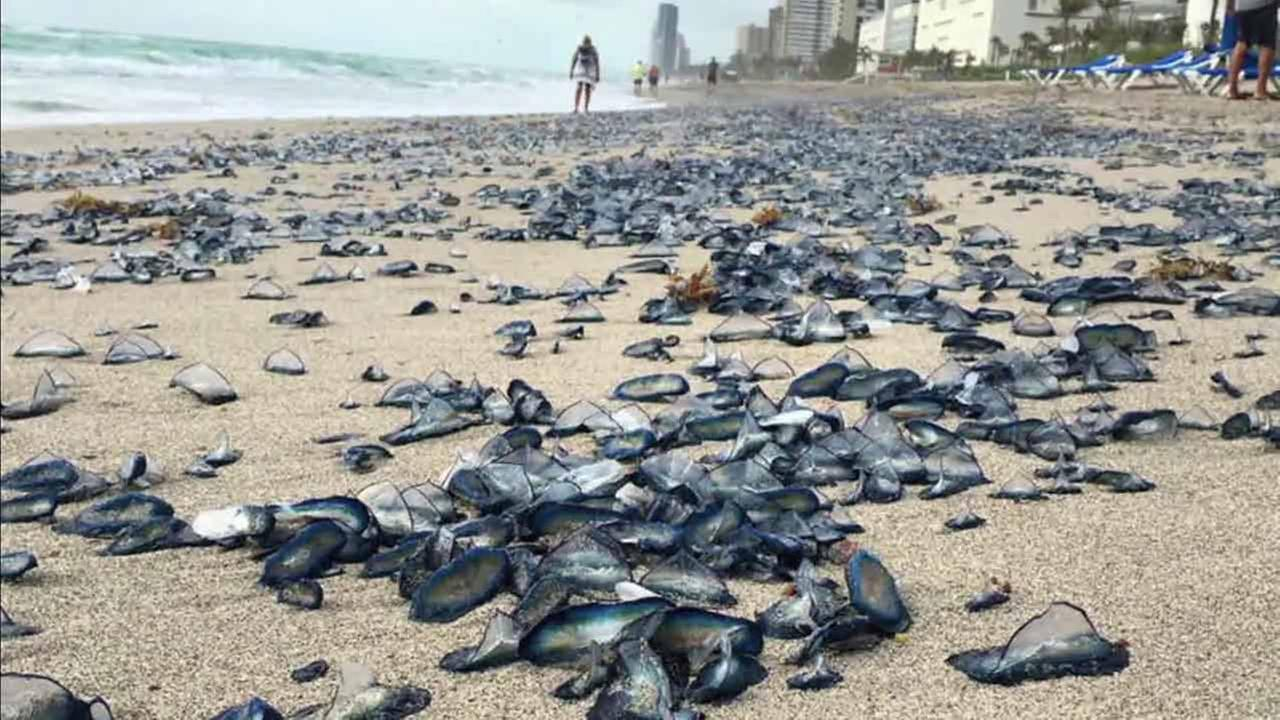 A sea of jellyfish are seen washed ashore at Floridas Hallandale Beach.