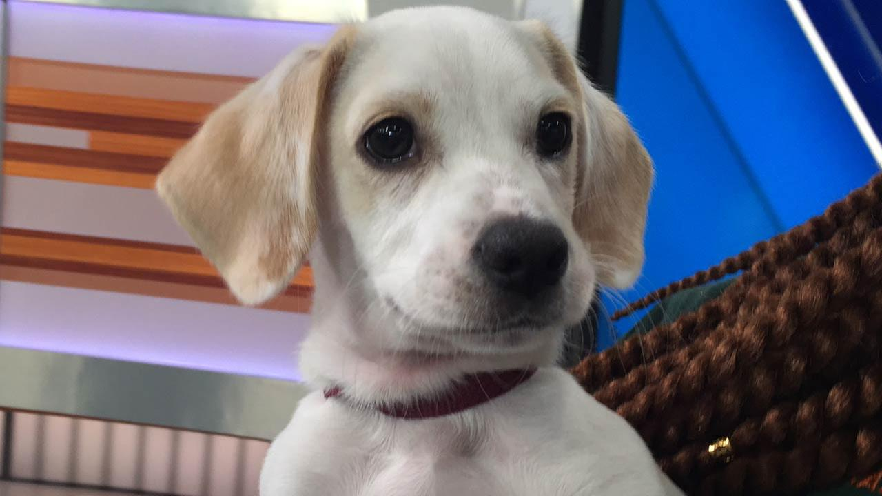 Our Pet of the Week on Tuesday, April 5, is a 3-month-old male beagle mix named Winston. Please give him a good home!