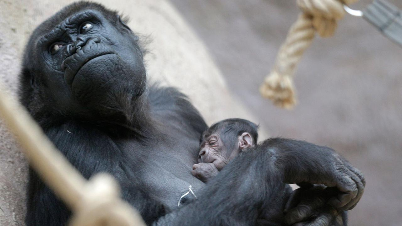 Shinda, a 24-year-old gorilla, holds her newborn baby at the Zoo in Prague, Czech Republic, Sunday, April 24, 2016.