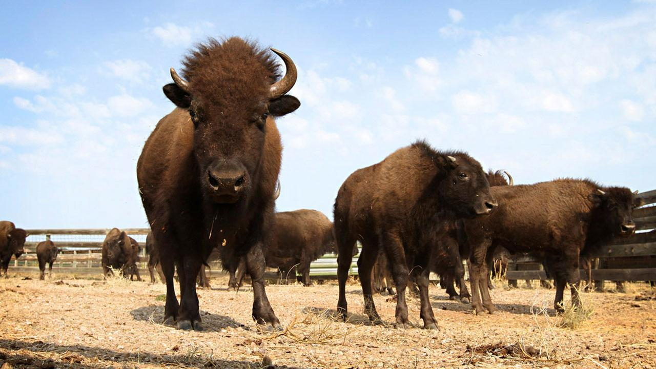 This Sept. 23, 2012 file photo shows buffalo in Custer State Park in western South Dakota.