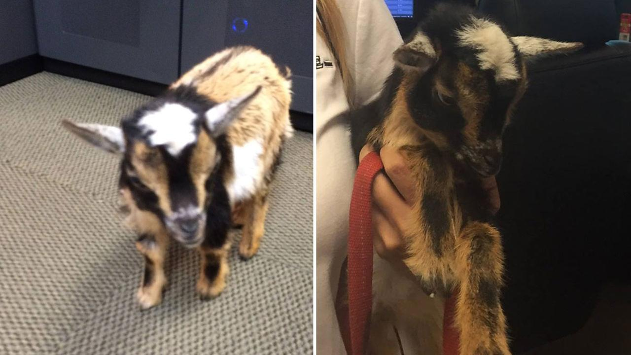 A baby goat found in Azusa is shown in photos taken by the department on Thursday, May 12, 2016.