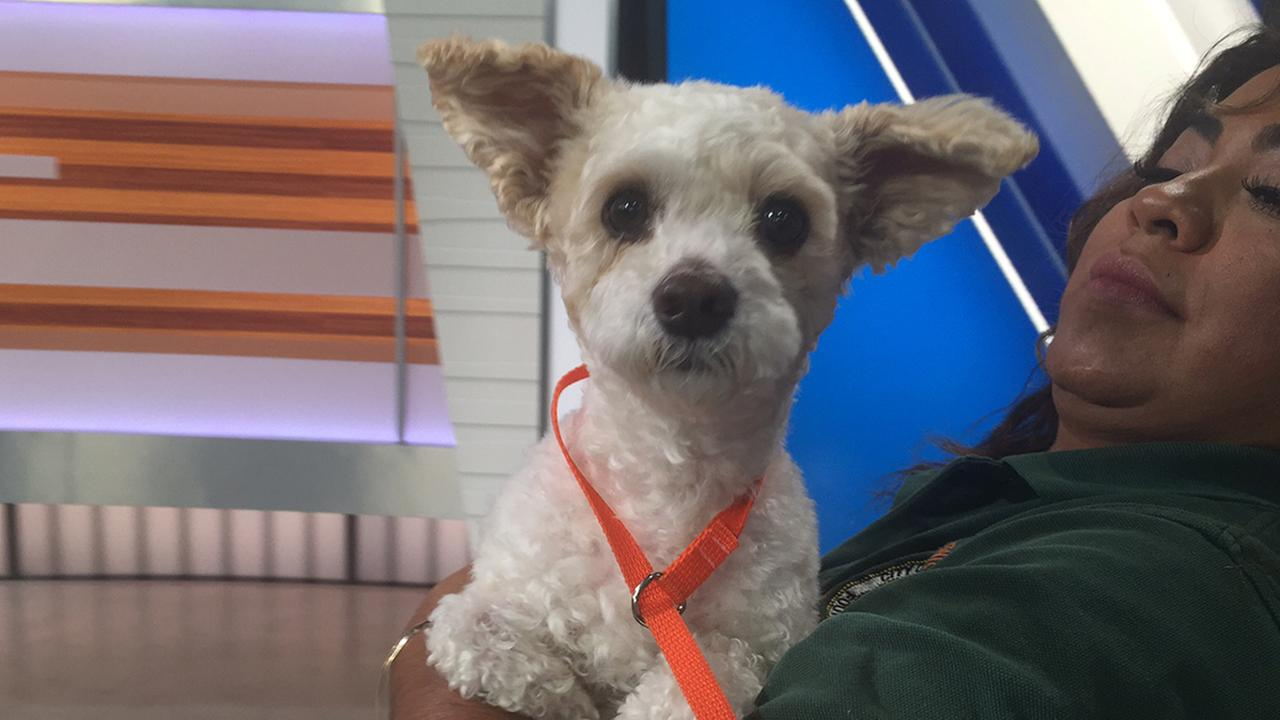 Our ABC7 Pet of the Week for Tuesday, May 17, 2016 is a 5-year-old poodle mix named Papi.