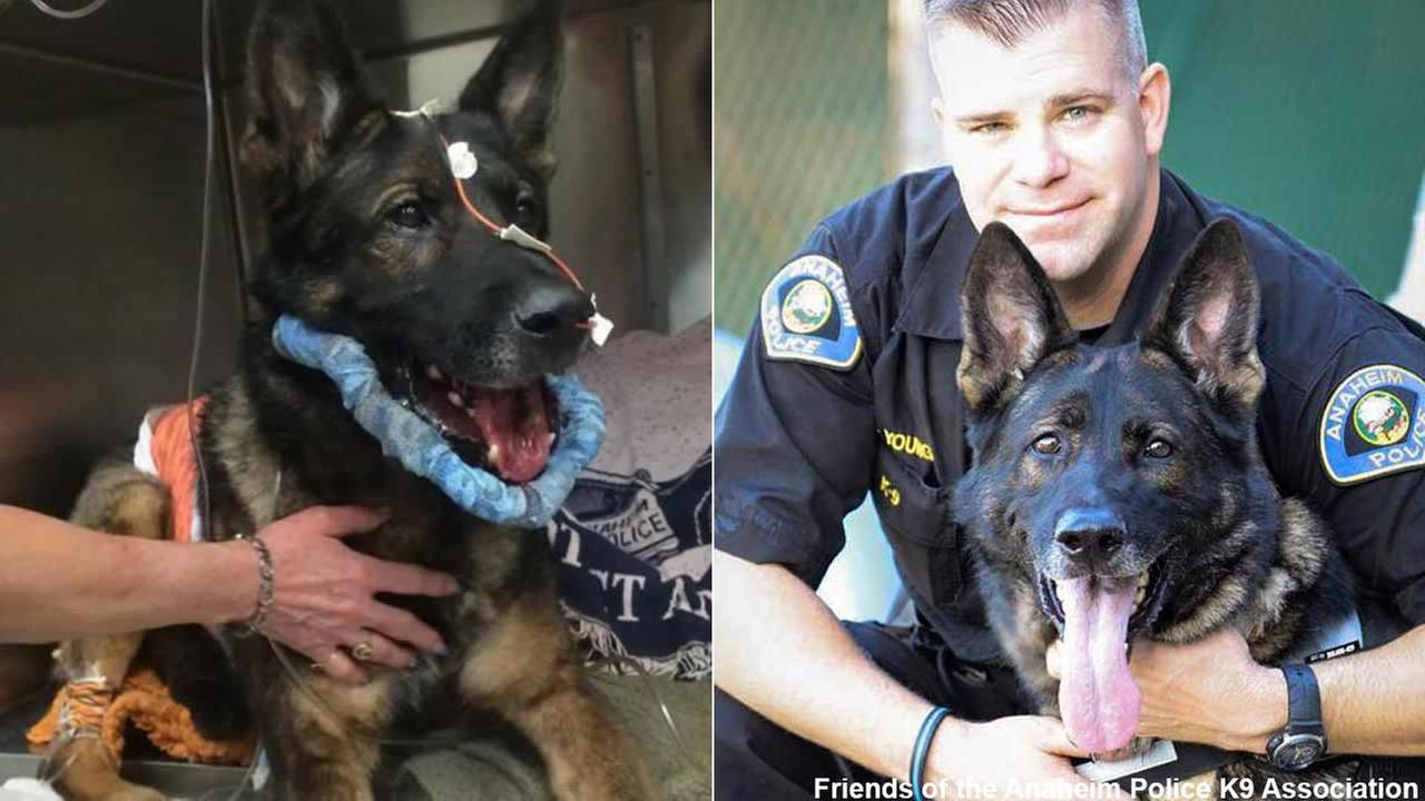 Bruno, a former Anaheim Police Department K-9, is seen in these undated photos.
