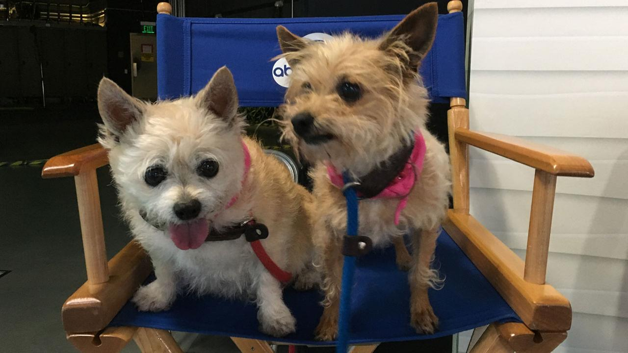 Putsy, an 11-year-old Chihuahua-terrier mix, and Sally, a 10-year-old terrier mix, are shown in a photo on the ABC7 set on Thursday, May 19, 2016.