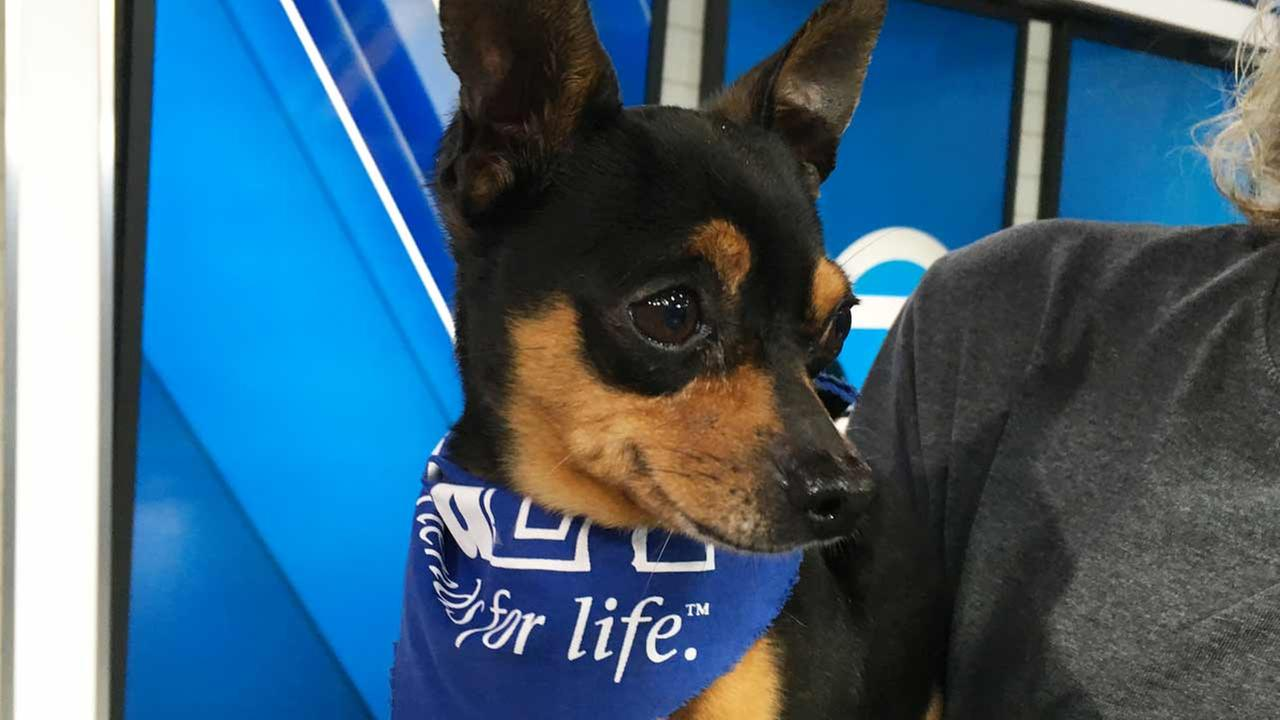 Our ABC7 Pet of the Week for Thursday, May 26, is a 4-year-old Chihuahua mix named Mickey. Please give him a good home!
