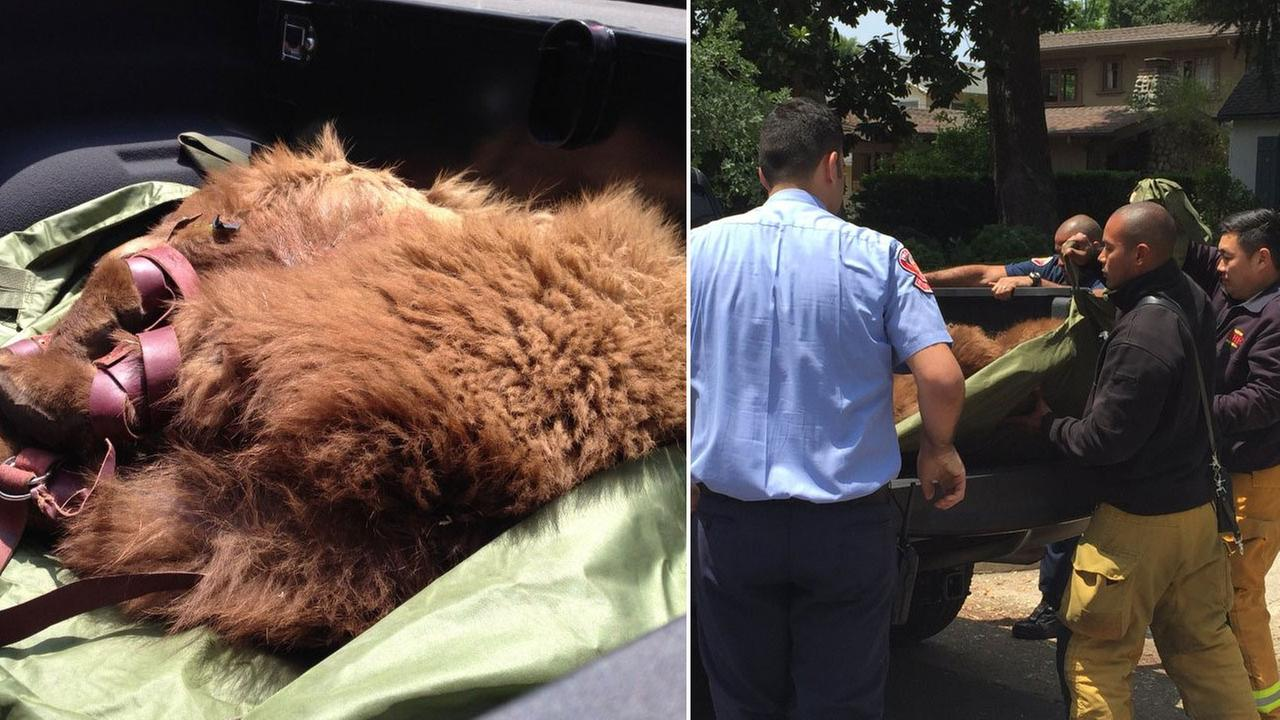Firefighters helped wildlife officials rescue a bear from a tree in a Pasadena neighborhood on Saturday, May 28, 2016.