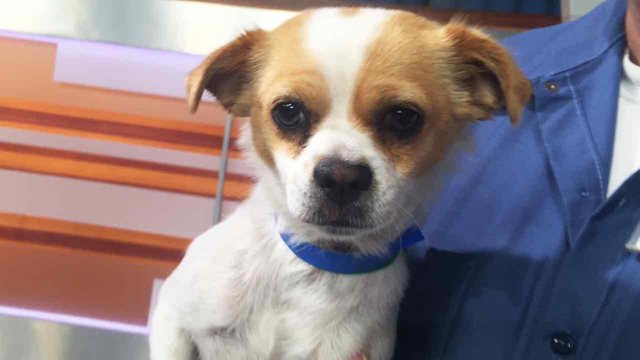 Lyssa, a 1-year-old chihuahua mix, hopes to get a new family soon!
