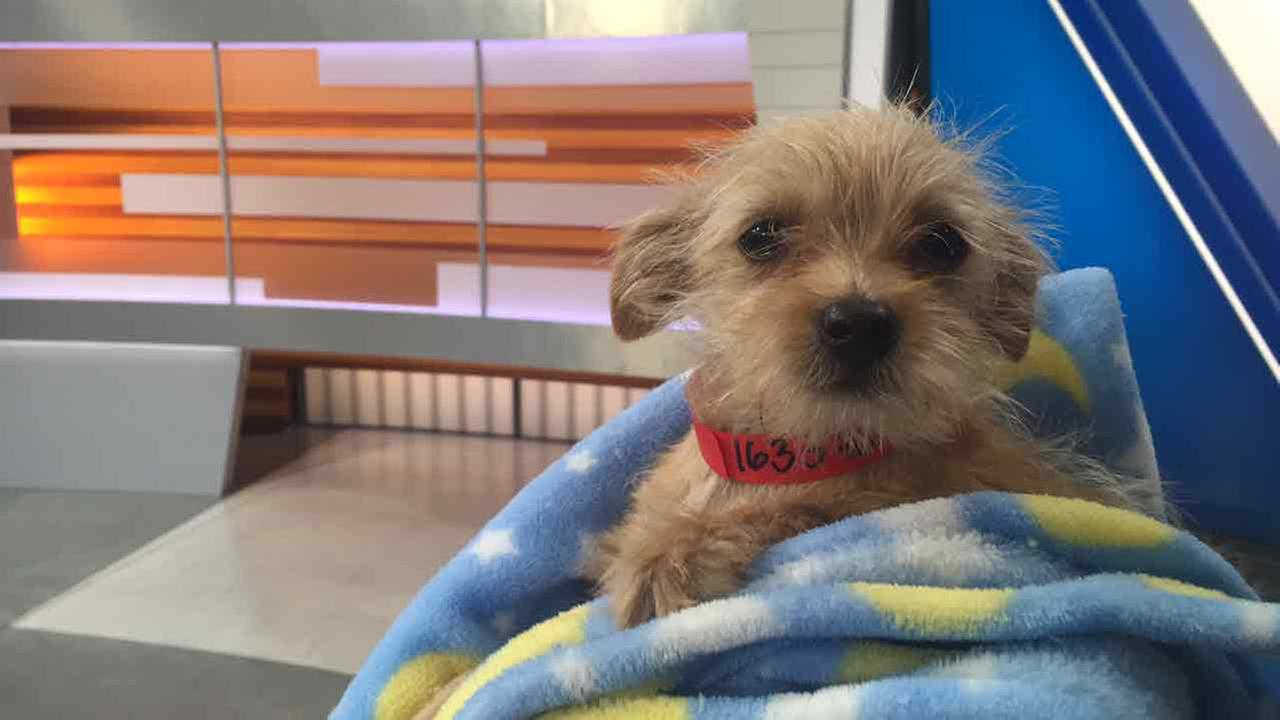 Our ABC7 Pet of the Week is Peanut, a 3-month-old boy terrier mix. Please give him a good home!