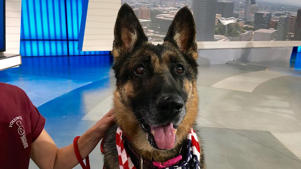Our ABC7 Pet of the Week is Millie, an 8-year-old German shepherd. Please give her a good home!