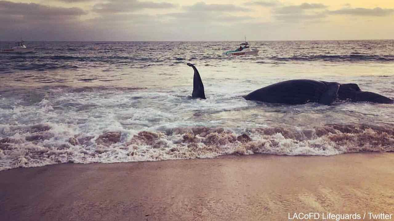A dead humpback whale is seen on the shore of Dockweiler State Beach on Thursday, July 1, 2016.