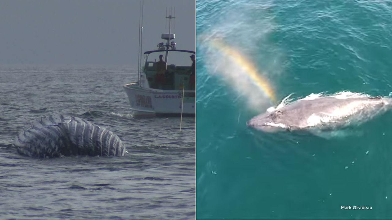Wally the humpback whale, towed out to sea Friday night, was the star of a viral video.
