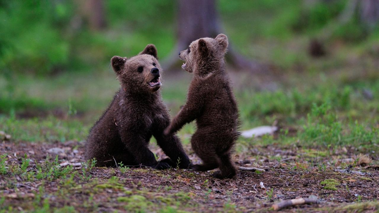 Two bear cubs are shown playing in the woods in a file photo.