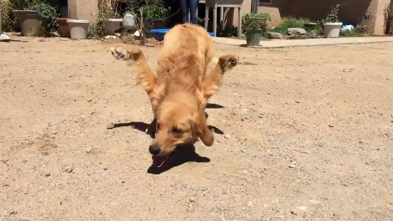The family of Rexi, a 1-year-old golden retriever, is searching for a way to help the dog with deformed front legs.