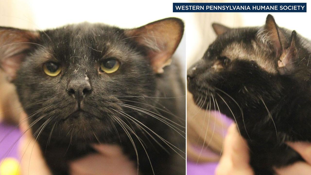 A four-eared cat named Batman is seen in photos from the Western Pennsylvania Humane Society.