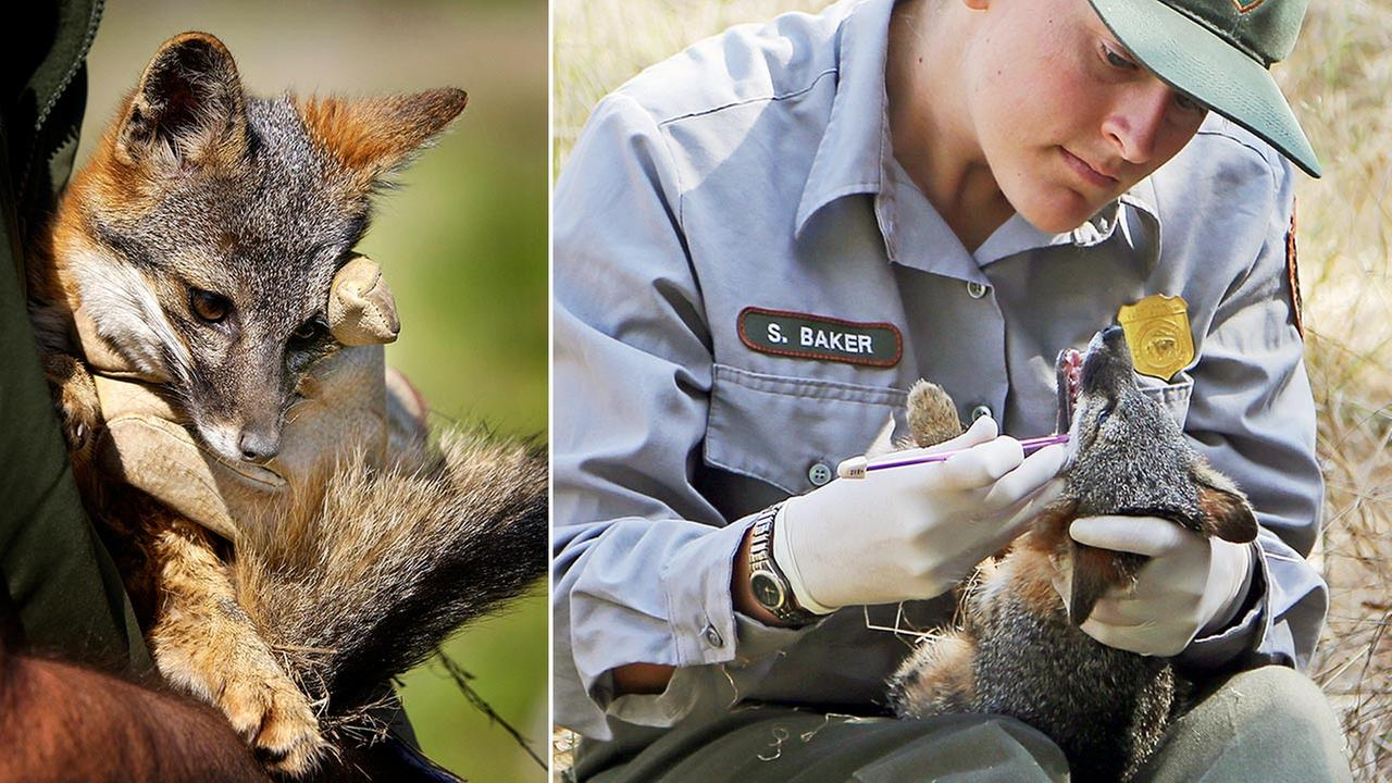 Three fox subspecies native to Californias Channel Islands were removed from the list of endangered species on Thursday, Aug. 11, 2016.