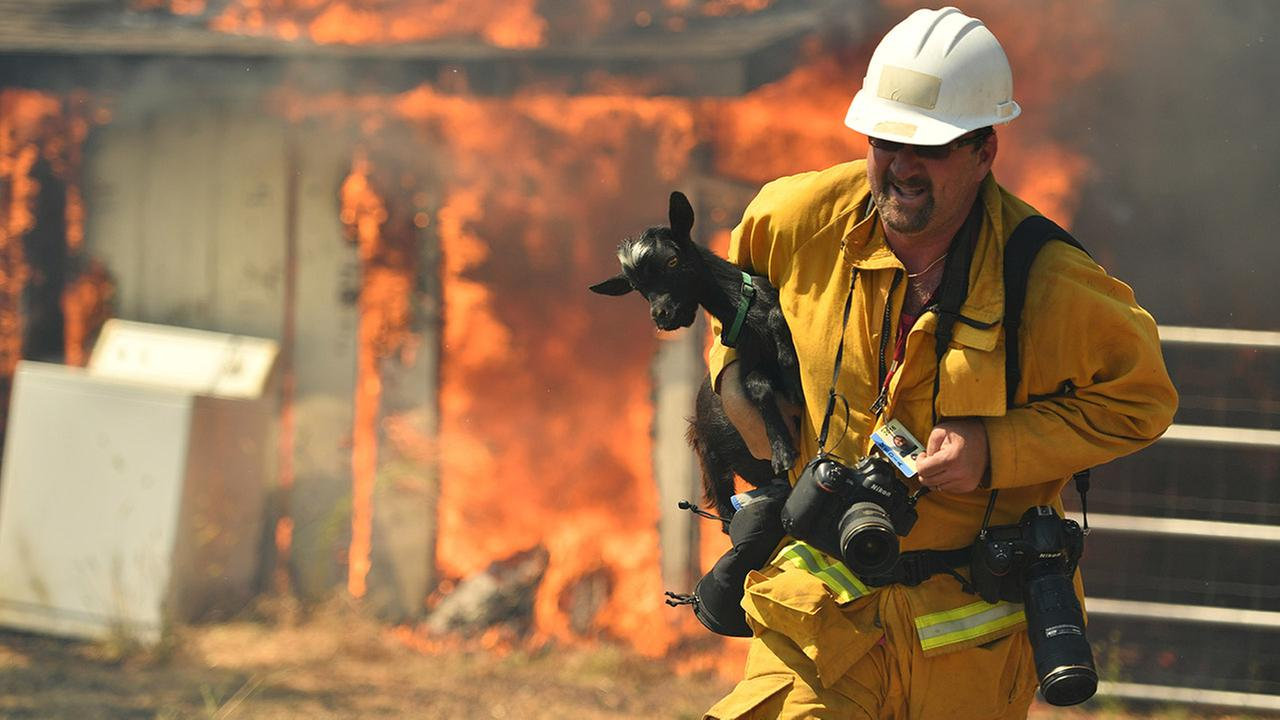 Freelance photographer Noah Berger rescues a goat as flames envelope a property off of Bonham Road near Lower Lake, Calif. on Sunday, Aug. 14, 2016.