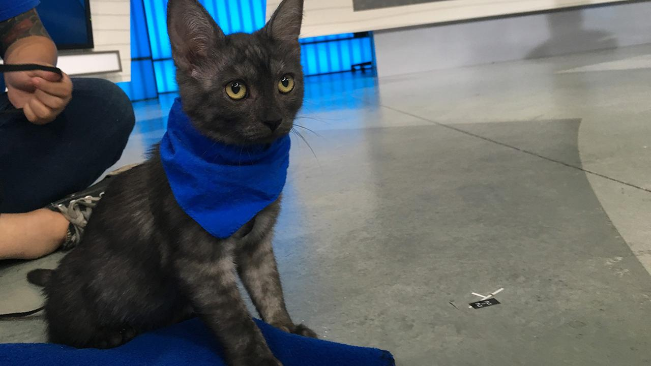 Our ABC7 Pet of the Week for Thursday, Aug. 25, is a 4-month-old kitten named Dixie.