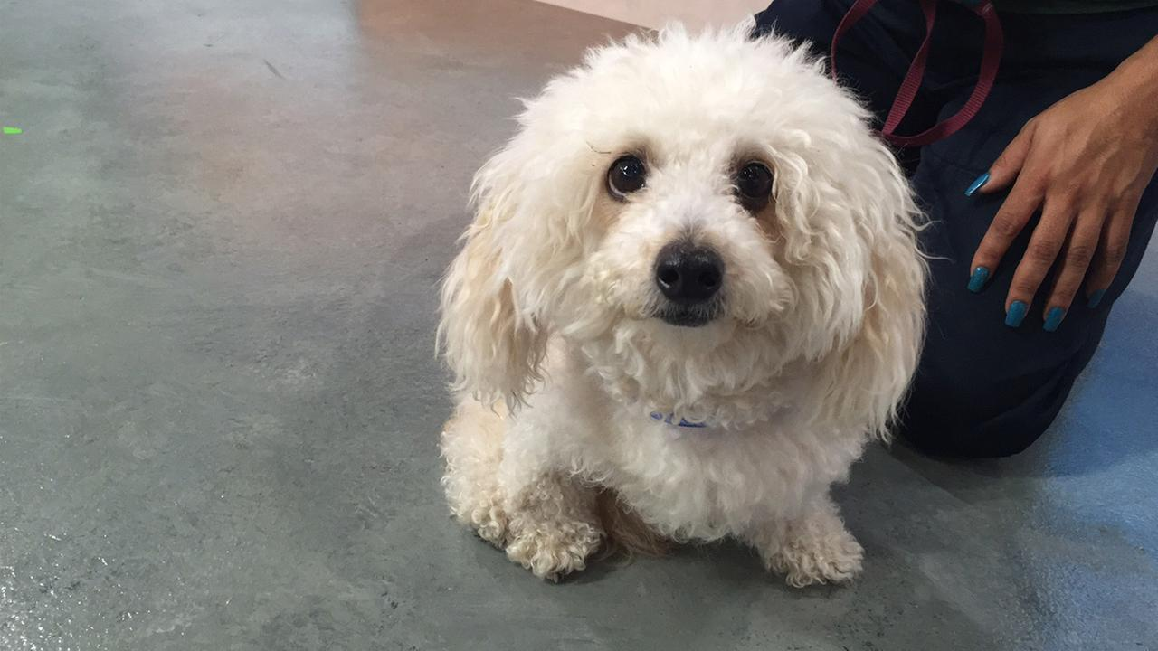 Our ABC7 Pet of the Week for Tuesday, Aug. 30, is a 4-year-old miniature poodle named Chanel.