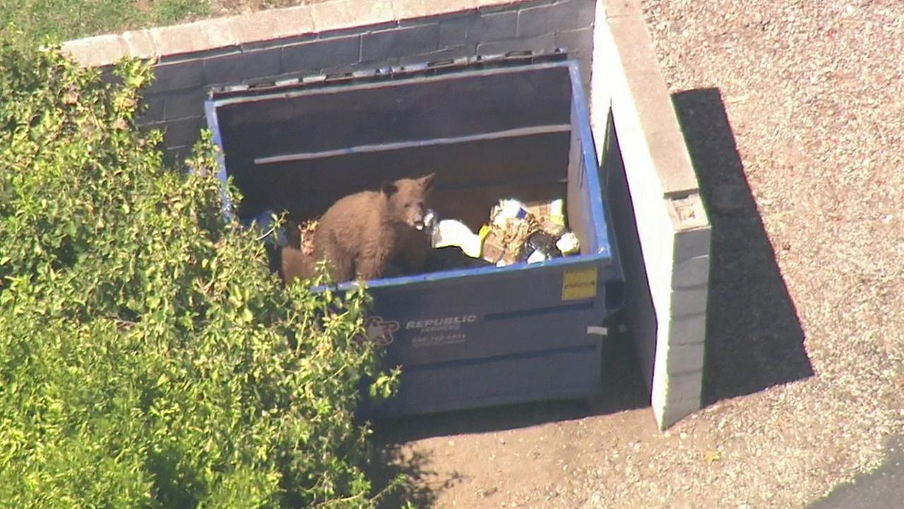 One of two bears ravages through a dumpster in Pasadena on Thursday, Sept. 1, 2016.