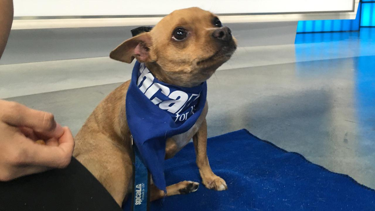 Our ABC7 Pet of the Week for Thursday, Sept. 8, 2016, is a 2-year-old Chihuahua mix named Shay. Please give him a loving home!