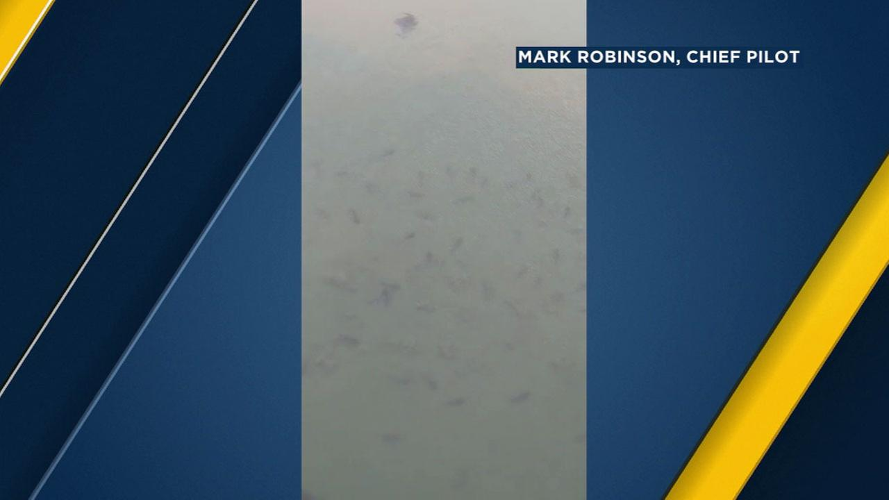 Pilot Mark Robinson took footage from a plane of pods of leopard sharks swimming in shallow water near the Seal Beach Pier on Thursday, Sept. 8, 2016.