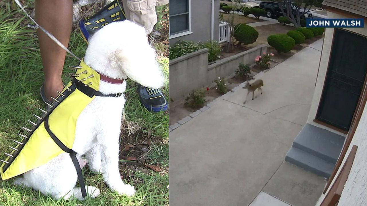 An emboldened coyote presence in Westchester and Playa del Rey has dog owners taking steps like buying protective vests to protect their pets.