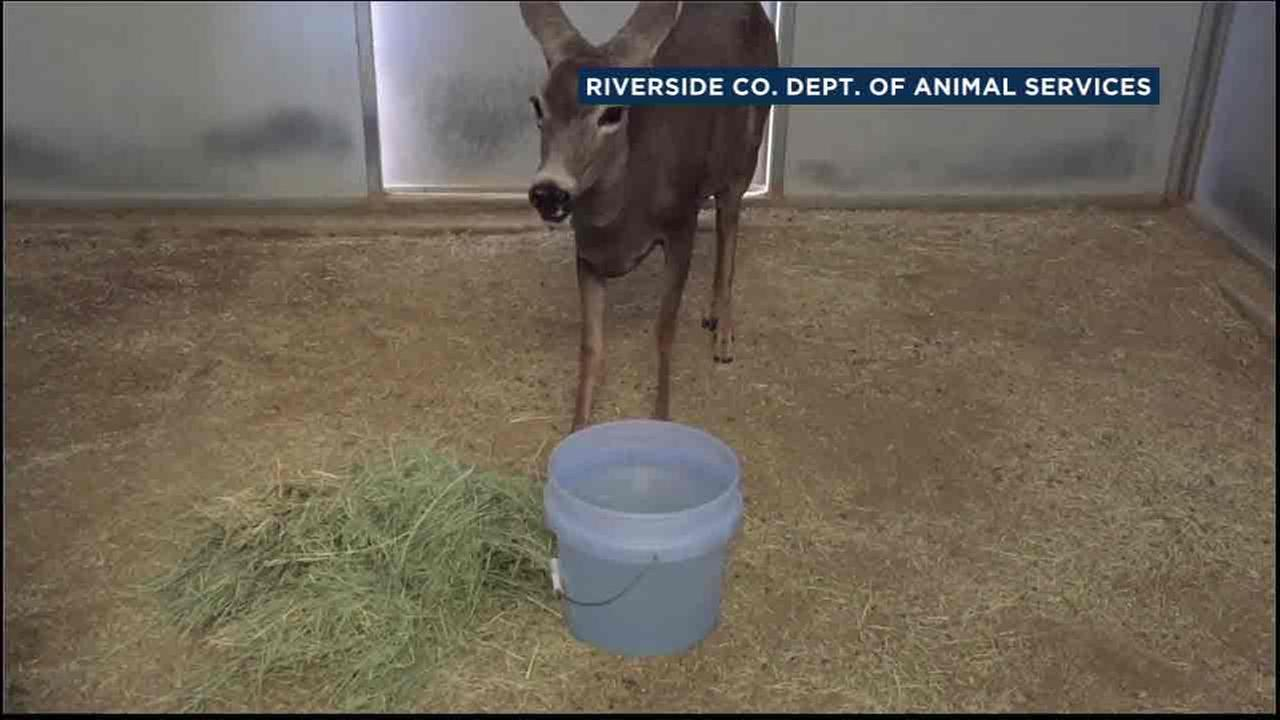 A deer rescued in Jurupa Valley appears very domesticated as officials from the Riverside County Department of Animal Services feed it.