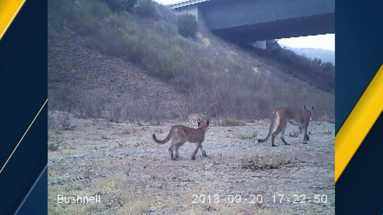 Fencing is helping to protect mountain lions who roam alongside Orange County freeways.