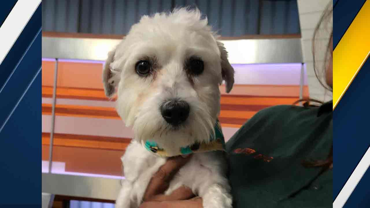 Our ABC7 Pet of the Week for Tuesday, Oct. 18, is a 3-year-old Chihuahua mix named Benny. Please give him a good home!