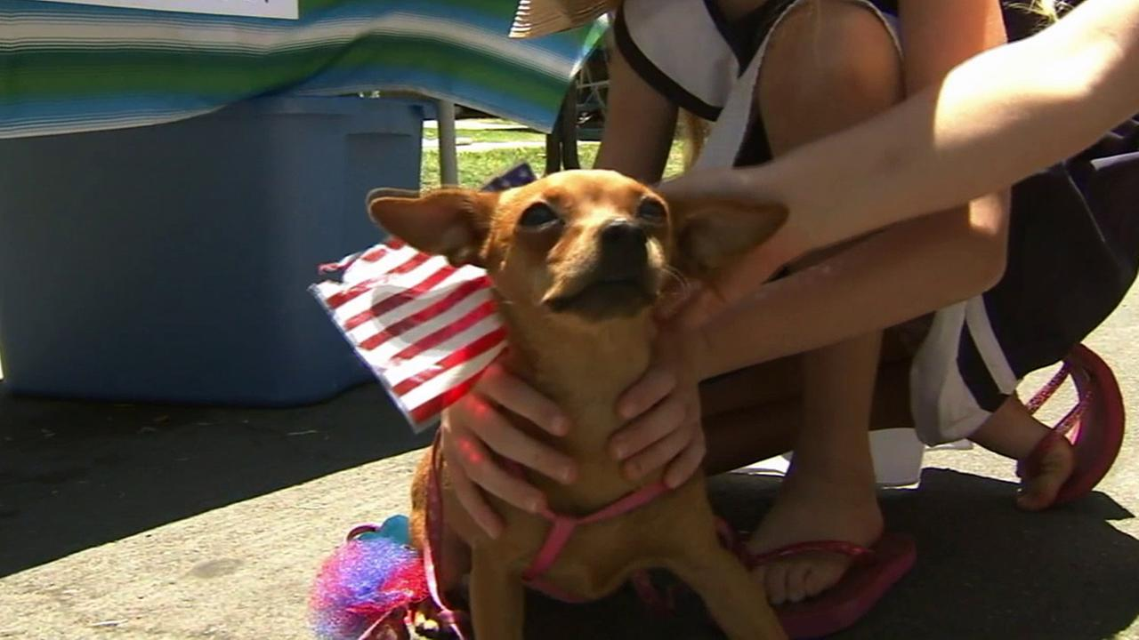 A Chihuahua enjoys being pet during Bluff Heights Neighborhood Associations block party in Long Beach on Friday, July 4, 2014.