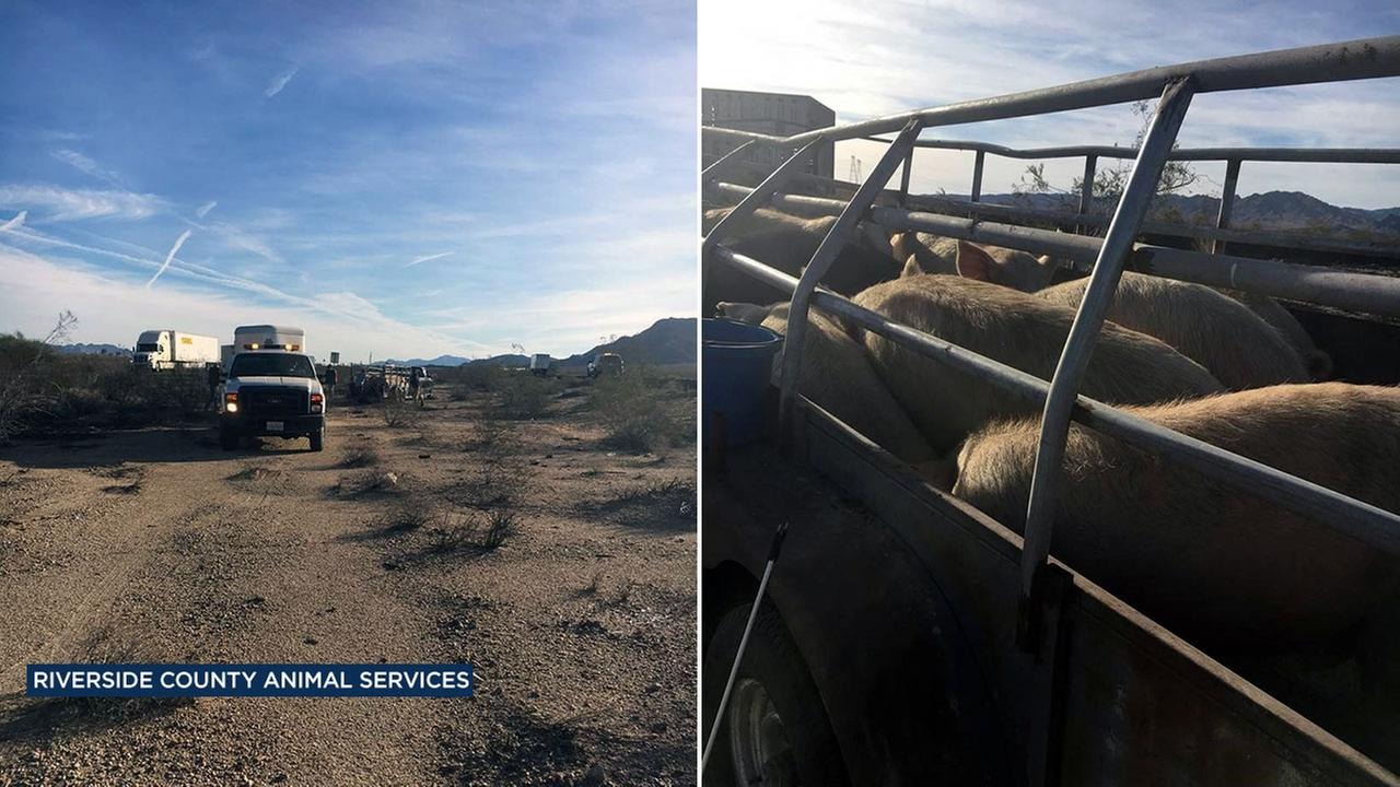 Officials said several pigs got loose on the 10 Freeway near Chiriaco Summit in Riverside County on Tuesday, Dec. 13, 2016.