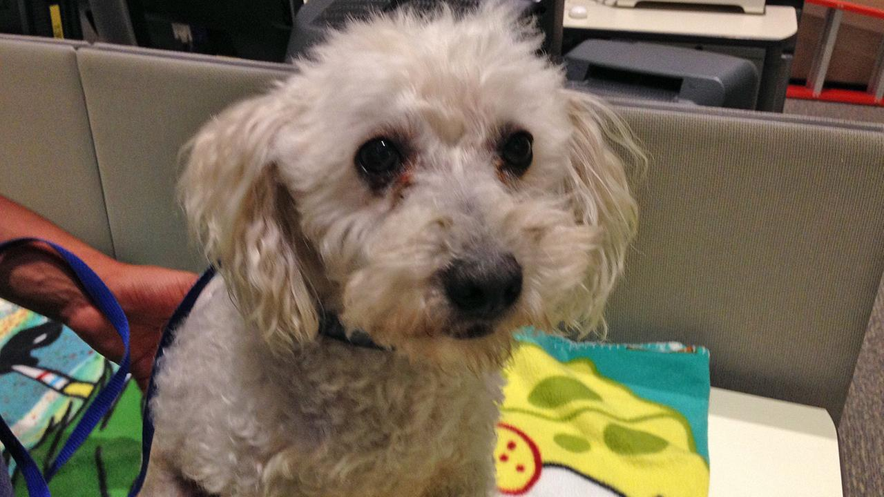Our Pet of the Week on Tuesday is an 8-year-old Poodle mix named Spencer. Please give him a good home!