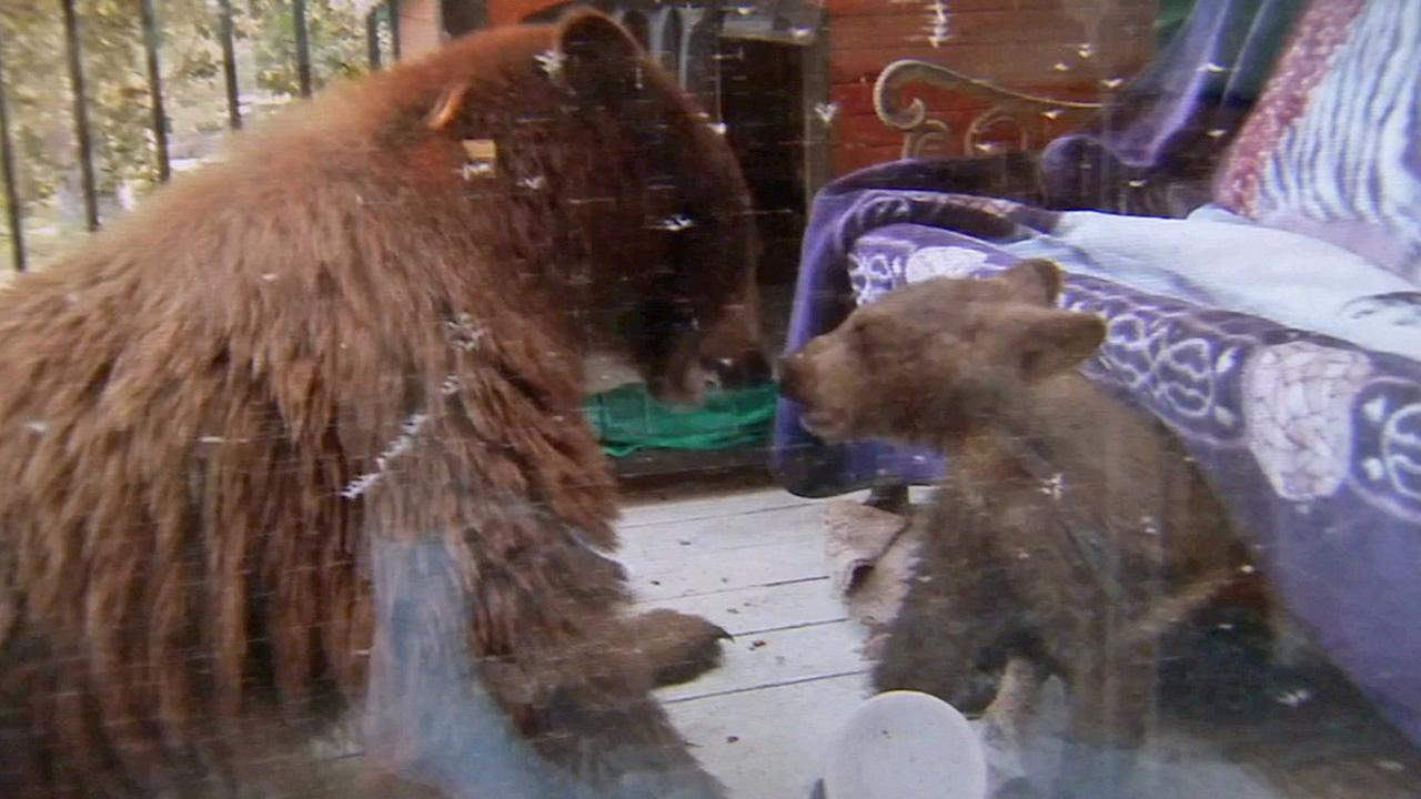 Bears were caught on video roaming a Monrovia neighborhood for food on Monday, July 8, 2014.