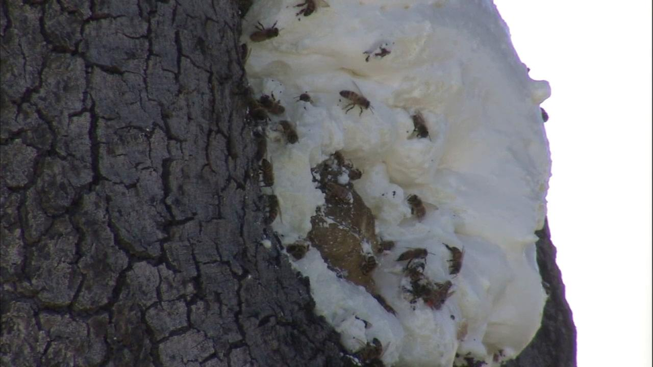 Foam has been sprayed on a Riverside tree infested with bees, but it hasnt kept away the massive swarm.