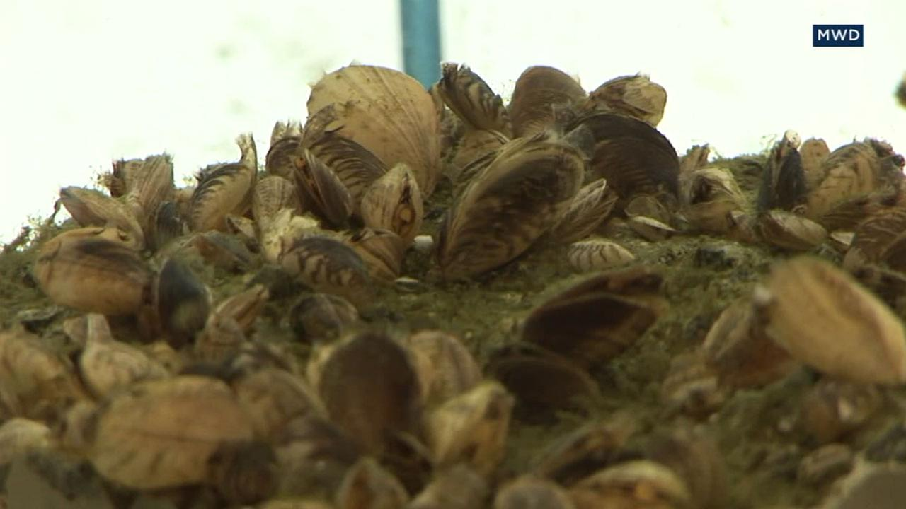 An invasive mussel species is shown in file footage from the Metropolitan Water District.