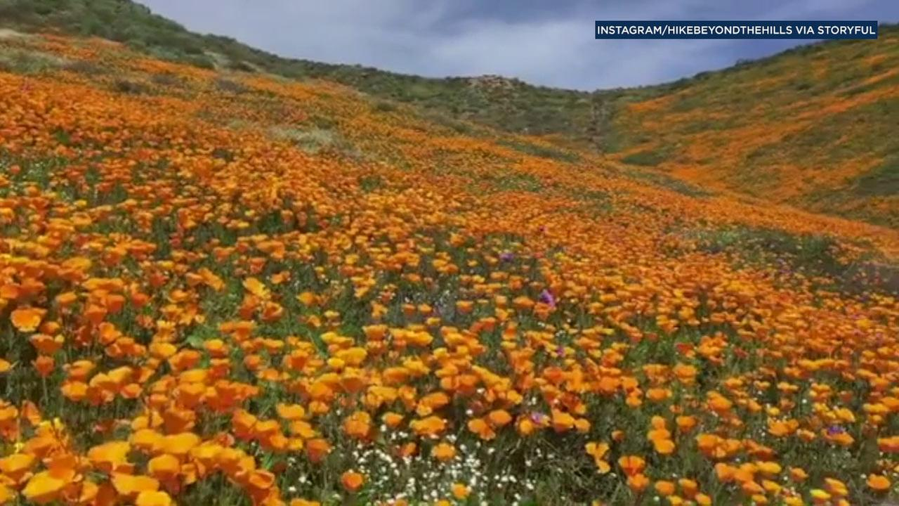 Nature loves have flocked to see the wildflower super bloom in Southern California.