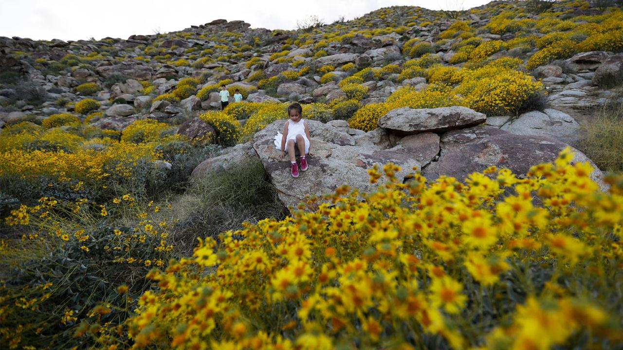 'Super bloom': Wildflowers, dormant for years, sprout across California