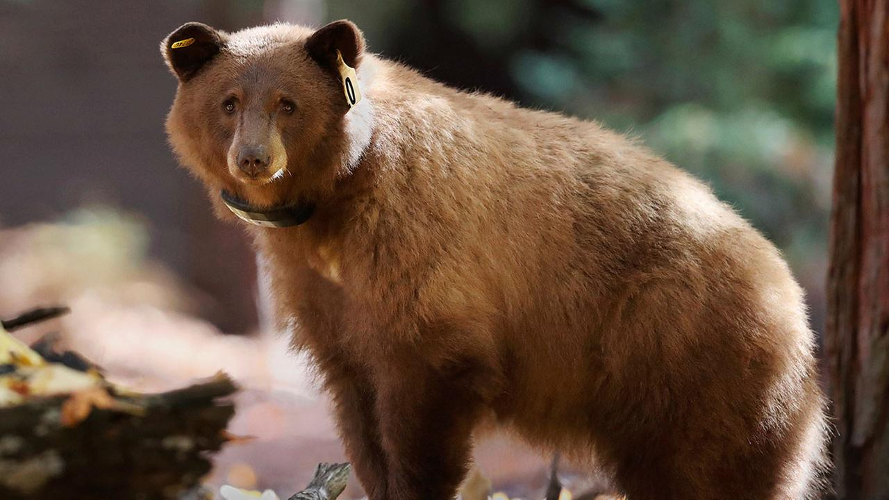 Yosemite now allows you to track its black bears online